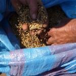 P1160832 Raccolta del antico grano gentil rosso e senatore capelli