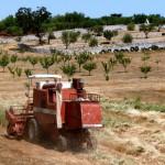 trattore 2013 La raccolta del grano gentil rosso