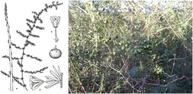 asparago-pungente-001