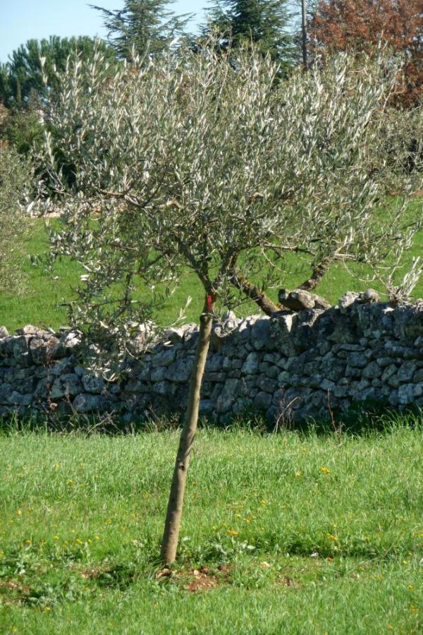oliva leucocarpa