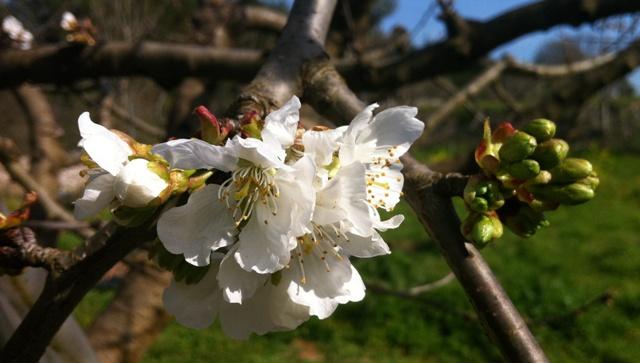 Il primo fiore di ciliegio