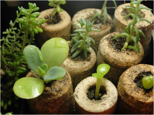 Riutilizzo creativo dei tappi di sughero reoose nulla - Sughero pianta da giardino ...