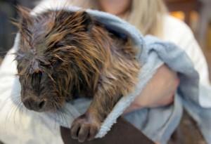 Uno dei castori eroi ricoverati al Wildlife Rehabilitation Center of Northern Utah