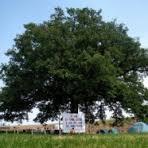Nonna Quercia il patriarca verde di Castelvetro Piacentino, minacciata dall'autostrada