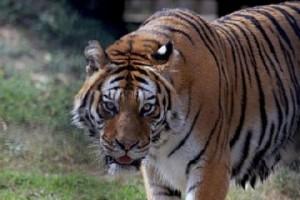 Una delle tigri di Pinerolo trasferite in tre zoo safari
