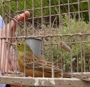 Ortolano appena catturato in una gabbia-trappola e salvato dagli attivisti del CABS