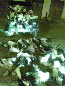Strage notturna di cicogne in Libano