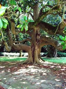 L'antica magnolia nei giardini della Reggia di Caserta