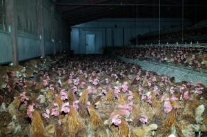 Un allevamento di galline ovaiole - foto Animal Equality Italia