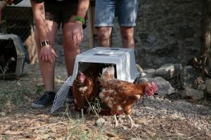 Primi passi in libertà per le galline liberate dagli attivisti di Animal Equality Italia