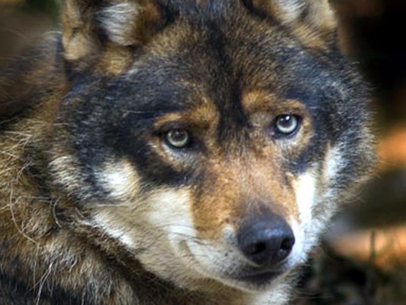 Dalla parte del lupo il richiamo della foresta blog for Disegni di lupi da colorare