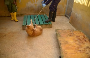 Un cane ospide da molti anni de I Giardini di Pluto durante il trasferimento ordinato dal sindaco Mele e dal Gip Saso