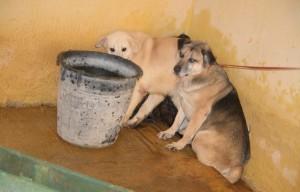 Mentre un cane viene trascinato via un altro cerca di nascondere un compagno dai catturatori