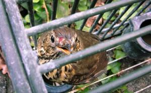 I richiami vivi sono uccellini catturati, imprigionati, spesso accecati, utilizzati come esche - foto Lipu