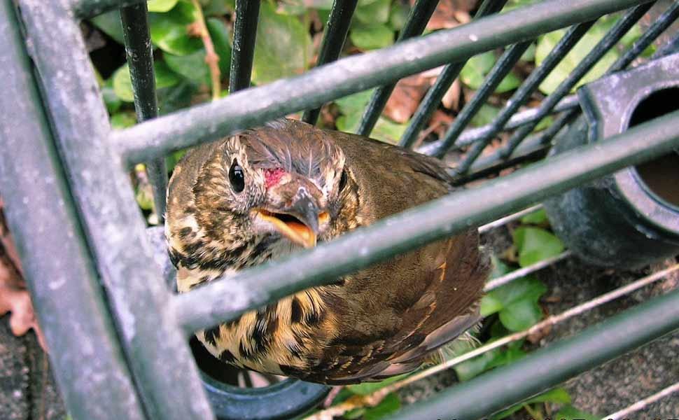 L 39 ue mette l 39 italia in mora stop ai richiami vivi il - Uccelli che sbattono contro le finestre ...