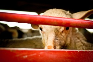 800mila agnelli e capretti macellati in Italia per Padqua, 4 milioni l'anno - foto Animal Equality