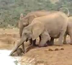 La madre e gli altri elefanti del gruppo si adoprano per salvare il cucciolo caduto in una pozza profonda