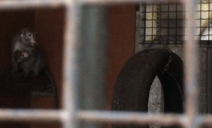 Buia e oscura, la gabbia è l'unica realtà conosciuta dai macachi prima di essere isolati e legati per l'impianto dei neuroni nel cervello. L'esperimnto può durare un anno e si conclude con l'uccisione dell'animale