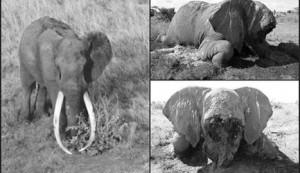 Satao, elefante celebre per le monumentali zanne, è stato ucciso e mutilato dai bracconieri in Kenya