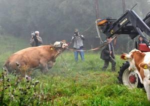La difficile cattura di Yvonne, mucca fuggita da allevamento/macello in Baviera nel 2011, latitante per tre mesi, quindi destinata a un'adozione del cuore. Al contrario di Camilla, costretta in uno stabulario, Yvonne viveva al pascolo: comunque non voleva morire