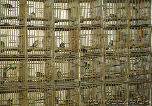 Catturati, imprigionati a vita, spesso mutilati, a migliaia piccoli uccelli, perlopiù migratori, vengono condannati a fungere da esche per i loro simili, attratti dal loro canto fuori stagione sotto il fuoco dei cacciatori. L'UE ha detto no alle catture.