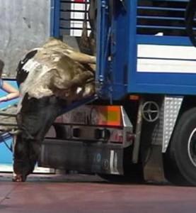 La mucca Doris, seviziata durante il trasporto al macello. La Corte di Cassazione ha confermato la condanna dei suoi aguzzini.