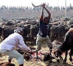 """Il Tempio di Gadhimai annuncia: """"basta sacrifici animali"""""""