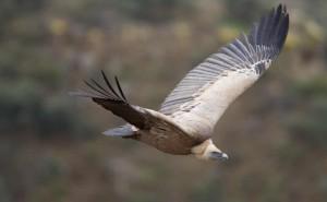 Grazie alle direttive europee che proteggono habitat e fauna selvatica si è assistito al ritorno di molte specie nel nostro Continente, ma occorre rafforzare le normative perché la biodiversità continua a essere in calo