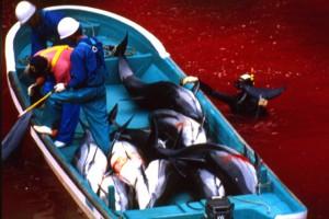Molti acquari e delfinari si riforniscono di esemplari selezionati durante le mattanze giapponesi, in genere cuccioli che assistono al massacro di genitori e amici per poi essere rivenduti agli show acquatici