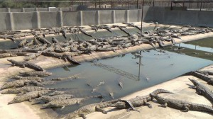 Prima di essere scuoiati, i coccodrilli trascorrono una breve e triste esistenza negli allevamenti lager