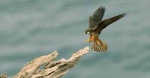 Un falco della regina ritratto dal fotografo Bruno Berthemy