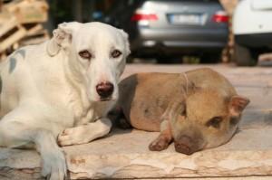 Il maialino Ettore viveva felice in una famiglia con persone e altri animali. Un vigile del fuoco volontario l'ha macellato mentre la proprietaria ne denunciava lo smarrimento: condanna esemplare