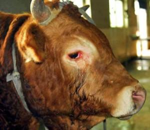 La macellazione religiosa, che avviene in deroga alle già scarse leggi comunitarie per proteggere gli animali nei macelli, prolunga angoscia, paura e dolore imponendo la giugulazione senza stordimento preventivo