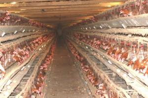 Tragica, crudele e a esclusivo beneficio degli allevatori, la vita delle galline in gabbia coinvolge ogni anno in Italia 62 milioni di animali