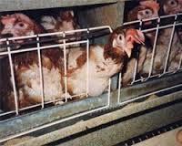 Alle galline allevate intensivamente viene mutilato il becco senza anestesia