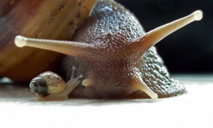 Animali timidi e indipendenti, nel comune uso alimentare le lumache vengono cucinate vive