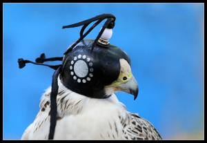Cattività, cappucci e catene: il falco prigioniero può volare solo quando il falconiere glielo permette
