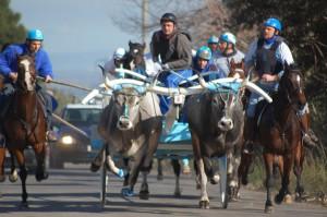 Altre corse tradizionali con i buoi, altrettanto irrispettose del benessere animale, si svolgono nel Meridione italiano, per esempio in Molise