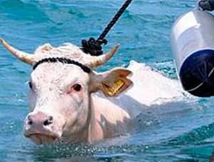 Già la mucca Teresa, nel 2011, cercò disperatamente la salvezza nelle acque dello Stretto