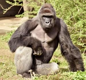 Harambe, abbattuto allo zoo di Cincinnati perché un bambino era caduto nel suo fossato
