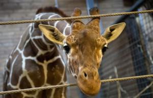 Marius, sezionato davanti ai bambini allo Zoo di Copenaghen