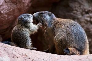 Grazie a un decreto legislativo del Governo Renzi alla vigilia del referendum gli accaniti cacciatori delle province autonome di Trento e Bolzano potranno uccidere qualsiasi specie protettam dalla marmotta all'orso.