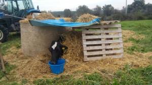 Di domenica pomeriggio finalmente viene realizzata una tettoia di fortuna e la mucca viene sostenuta in una posizione migliore.