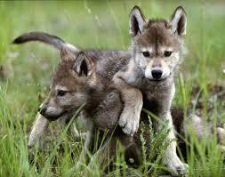 Lupi, ibridi, cani vaganti, sarebbero tutti in pericolo grazie al Piano per la conservazione del lupo promosso dal ministro Galletti e applaudito da Coldiretti.