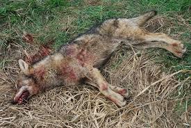 L'unica risposta istituzionale alla richiesta di trovare soluzioni per una serena convivenza con la fauna selvatica è uccidere.