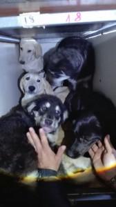 I cani della staffetta fermata nel Casertano dalle Guardie Zoofile dell'Oipa di Caserta viaggiavano dalla Calabria al Nord Italia in condizioni di  spaventoso sovraffollamento e malessere