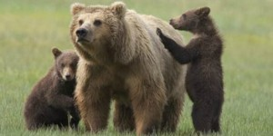 Dopo il tragico caso Daniza, ecco una nuova condanna a cattura o morte da parte delle autorità trentine contro un'orsa, accusata di aver ferito un uomo che si era probabilmente avvicinato troppo ai suoi cuccioli. Insorgono le associazioni e annunciano l'intento di impugnare l'ordinanza presso il Tar.