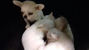 Viaggiavano da più di 24 ore senza cibo né acqua, fra i propri escrementi: nove cuccioli provenienti illegalmente dall'Est e destinati a essere rivenduti attraverso un allevamento amatoriale sono stati sequestrati a Roma.
