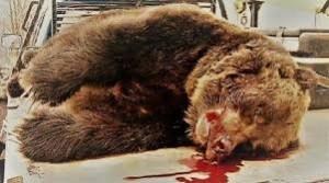L'orsa KJ2 è una delle vittime che a milioni la nostra politica sacrifica ai propri miopi interessi