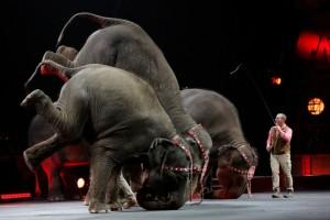Un emendamento della senatrice Pd De Giorgi sta boicottando il civile tentativo di rendere cruelty free il circo italiano